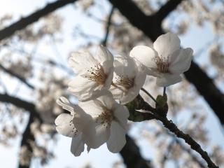 桜(JPG)